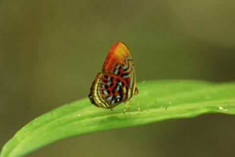 The common birdwing