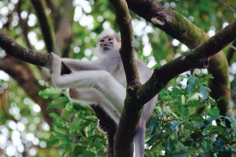Mitred Leaf Monkey