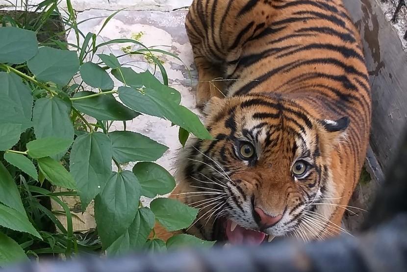 Intip Pusat Rehabilitasi Harimau Sumatra di Tambling Lampung